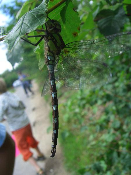 A happy dragon fly dangling in the heritage marshes mentioned above