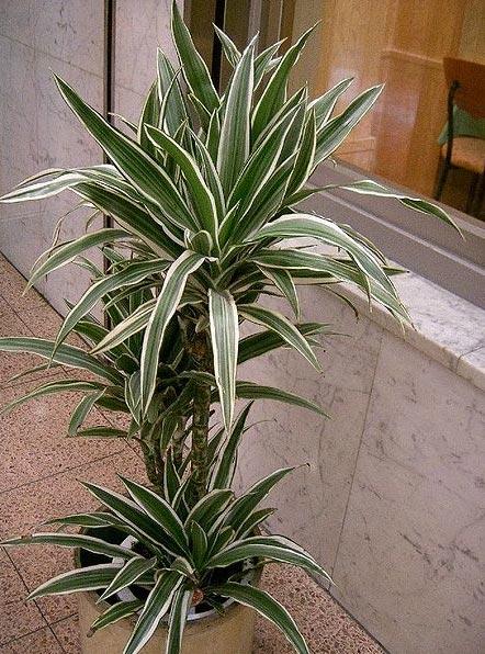 10 plantas de interior que limpian el aire-http://www.translationdirectory.com/images_articles/wikipedia/house_plants/janet_craig_dracaena.jpg