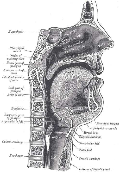 Mouth Pharynx And Larynx